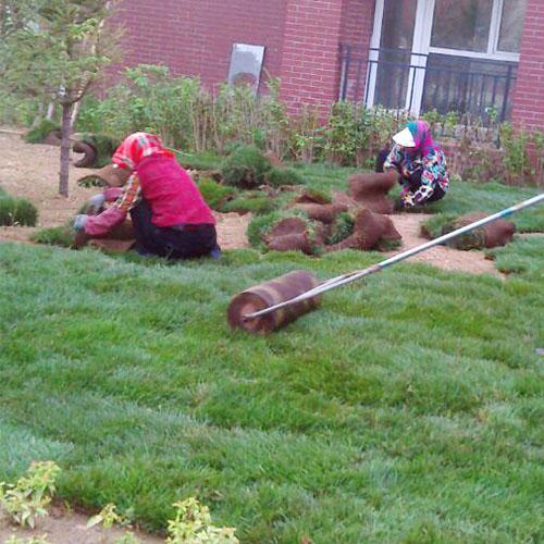 沈阳草坪种植技术