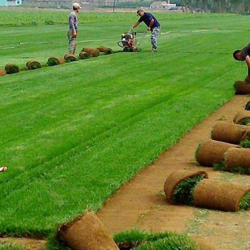 沈阳草坪种植厂家