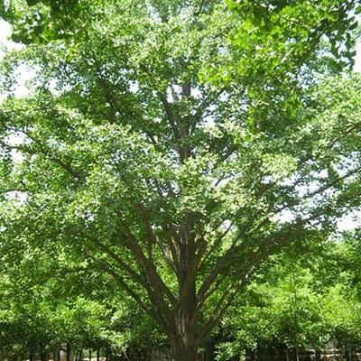 乔木的种植