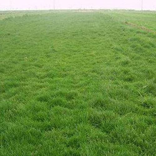 黑龙江草坪